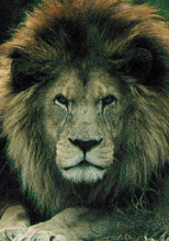 Man-Eating Lions Come to the Rescue of a 12-Year-Old